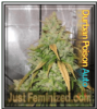 Auto Durban Poison Fem Mix & Match Seeds